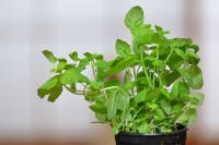 Peppermint - Herb for Allergies